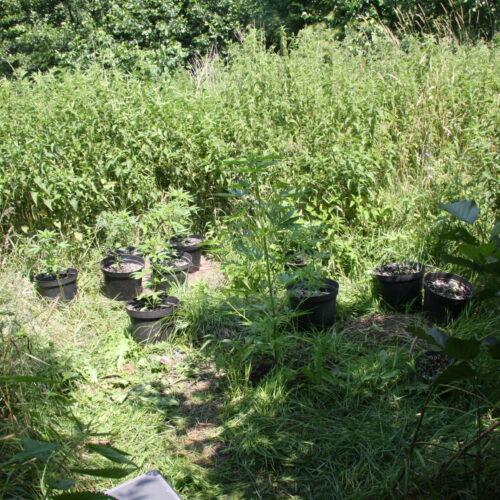 Policjanci zlikwidowali plantację konopi ukrytą w pokrzywach